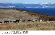 Купить «Байкал. Лошади на острове Ольхон», видеоролик № 2928158, снято 5 ноября 2011 г. (c) Виктория Катьянова / Фотобанк Лори