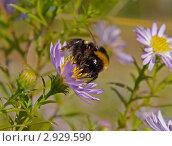 Шмель на осеннем цветке. Стоковое фото, фотограф Анатолий Ковальчук / Фотобанк Лори