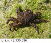 Мраморный краб (Pachygrapsus marmoratus), самка. Стоковое фото, фотограф Георгий Чернилевский / Фотобанк Лори
