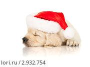 Купить «Щенок золотистого ретривера в шапке Санта-Клауса», фото № 2932754, снято 28 июня 2011 г. (c) Чирцова Наталья / Фотобанк Лори