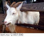 Белый козел ест солому. Стоковое фото, фотограф Алексей Кокоулин / Фотобанк Лори