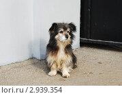 Купить «Уличная собачка», эксклюзивное фото № 2939354, снято 5 ноября 2011 г. (c) lana1501 / Фотобанк Лори