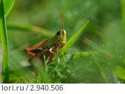 Купить «Зеленый кузнечик в зеленой траве», фото № 2940506, снято 3 августа 2011 г. (c) Александр Лебедев / Фотобанк Лори