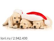 Купить «Щенки золотистого ретривера в шапке Деда Мороза», фото № 2942430, снято 28 июня 2011 г. (c) Чирцова Наталья / Фотобанк Лори