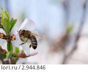 Пчела на цветке войлочной вишни. Стоковое фото, фотограф Юрий Мураховский / Фотобанк Лори
