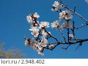 Вишневый цвет. Стоковое фото, фотограф Маргарита Волгина / Фотобанк Лори