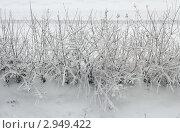 Кусты в снегу. Стоковое фото, фотограф Olga Shemyakina / Фотобанк Лори