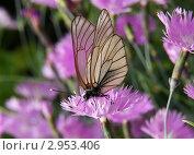 Бабочка. Стоковое фото, фотограф Вячеслав Строганов / Фотобанк Лори