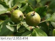 Зеленое яблочко. Стоковое фото, фотограф Вячеслав Строганов / Фотобанк Лори