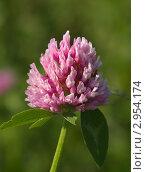 Купить «Розовый клевер», фото № 2954174, снято 24 июля 2011 г. (c) Олег Рубик / Фотобанк Лори