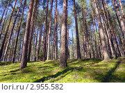 Купить «В сосновом лесу», фото № 2955582, снято 31 августа 2011 г. (c) Икан Леонид / Фотобанк Лори