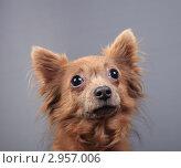 Купить «Портрет собаки», эксклюзивное фото № 2957006, снято 19 сентября 2018 г. (c) Яна Королёва / Фотобанк Лори