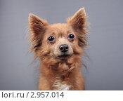 Купить «Портрет коричневой собаки», эксклюзивное фото № 2957014, снято 21 сентября 2018 г. (c) Яна Королёва / Фотобанк Лори