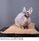 Купить «Кошка породы Донской сфинкс», фото № 2957026, снято 21 сентября 2018 г. (c) Яна Королёва / Фотобанк Лори