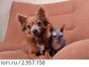 Купить «Собака и кошка породы Донской сфинкс сидят рядом в кресле», фото № 2957158, снято 21 сентября 2018 г. (c) Яна Королёва / Фотобанк Лори
