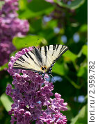 Бабочка Подалирий на цветах сирени, на фоне зеленой листвы. Стоковое фото, фотограф Юрий Мураховский / Фотобанк Лори