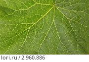 Купить «Текстура зеленого листа с каплями», фото № 2960886, снято 1 сентября 2011 г. (c) Артем Поваров / Фотобанк Лори