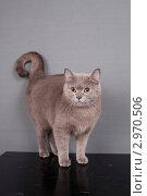 Купить «Британская серая кошка», фото № 2970506, снято 21 января 2019 г. (c) Яна Королёва / Фотобанк Лори