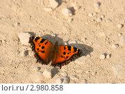 Яркая бабочка на светлой земле (Крапивница обыкновенная,  Aglais urticae) Стоковое фото, фотограф Щеголева Ольга / Фотобанк Лори