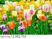 Купить «Поле разноцветных тюльпанов в солнечный весенний день», фото № 2982150, снято 30 мая 2009 г. (c) Екатерина Овсянникова / Фотобанк Лори