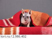 Купить «Кошка породы Донской сфинкс вылезает из под пледа», эксклюзивное фото № 2986402, снято 19 сентября 2018 г. (c) Яна Королёва / Фотобанк Лори