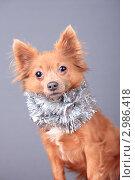 Купить «Очаровательный пес в новогодней мишуре», эксклюзивное фото № 2986418, снято 15 ноября 2018 г. (c) Яна Королёва / Фотобанк Лори