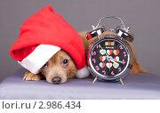 Купить «Очаровательный пес в колпаке Санта-Клауса и часы», эксклюзивное фото № 2986434, снято 21 февраля 2020 г. (c) Яна Королёва / Фотобанк Лори
