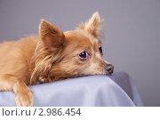 Купить «Грустный пес», эксклюзивное фото № 2986454, снято 19 сентября 2018 г. (c) Яна Королёва / Фотобанк Лори