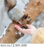 Купить «Белка ест семечки с женской руки», эксклюзивное фото № 2991690, снято 16 ноября 2011 г. (c) Игорь Низов / Фотобанк Лори