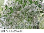 Тополиный пух. Стоковое фото, фотограф Анна Омельченко / Фотобанк Лори
