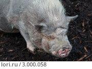 Вьетнамская вислобрюхая свинья. Стоковое фото, фотограф Виталий Куценко / Фотобанк Лори