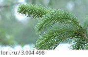 Купить «Ветки пихты под дождем», видеоролик № 3004498, снято 23 июня 2010 г. (c) Андрей Некрасов / Фотобанк Лори