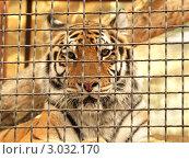 Купить «Тигр за решеткой крупным планом», фото № 3032170, снято 22 августа 2011 г. (c) Алексей Пантелеев / Фотобанк Лори