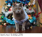 Купить «Британская кошка в костюмчике около новогодней елки», фото № 3032270, снято 9 января 2009 г. (c) Роман Шаповалов / Фотобанк Лори