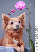 Купить «Портрет собаки и цветущая орхидея», эксклюзивное фото № 3034534, снято 15 ноября 2018 г. (c) Яна Королёва / Фотобанк Лори