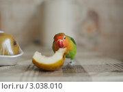 Попугай ест грушу. Стоковое фото, фотограф Кораблева Надежда / Фотобанк Лори