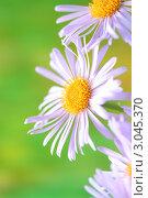 Купить «Бледно-фиолетовые астры на зеленом фоне. Малая глубина резкости», фото № 3045370, снято 5 июня 2010 г. (c) kiyanochka / Фотобанк Лори