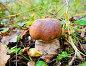 Белый гриб в осеннем лесу, эксклюзивное фото № 3062602, снято 5 октября 2011 г. (c) Игорь Низов / Фотобанк Лори