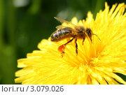 Пчела. Стоковое фото, фотограф Сергей Прокопьев / Фотобанк Лори