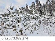 Купить «Молодые сосны занесённые снегом», эксклюзивное фото № 3082274, снято 24 декабря 2011 г. (c) Елена Коромыслова / Фотобанк Лори