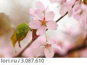 Купить «Цветущая сакура», фото № 3087610, снято 6 мая 2009 г. (c) Николай Охитин / Фотобанк Лори