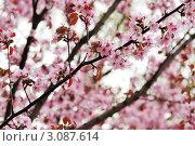 Купить «Цветущая сакура», фото № 3087614, снято 6 мая 2009 г. (c) Николай Охитин / Фотобанк Лори