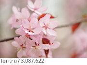 Купить «Цветы сакуры крупный планом», фото № 3087622, снято 6 мая 2009 г. (c) Николай Охитин / Фотобанк Лори