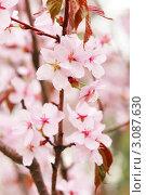 Купить «Нежные цветы сакуры», фото № 3087630, снято 6 мая 2009 г. (c) Николай Охитин / Фотобанк Лори