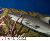 Купить «Петербургский океанариум. Лимонная рифовая акула, или жёлтая акула, или короткорылая острозубая акула, или панамская острозубая акула (Lemon shark / Negaprion brevirostris)», фото № 3100322, снято 29 октября 2011 г. (c) Сергей Дубров / Фотобанк Лори