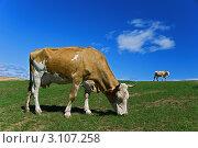 Купить «Корова на пастбище», фото № 3107258, снято 11 августа 2011 г. (c) Opra / Фотобанк Лори