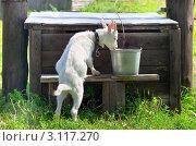 Купить «Коза пьет воду в жаркую погоду у колодца», фото № 3117270, снято 12 августа 2011 г. (c) Икан Леонид / Фотобанк Лори