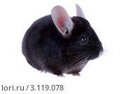 Купить «Черная шиншилла», фото № 3119078, снято 9 октября 2010 г. (c) Vitas / Фотобанк Лори