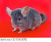 Купить «Фиолетовая эбонитовая шиншилла на красном фоне», фото № 3119970, снято 9 октября 2010 г. (c) Vitas / Фотобанк Лори