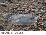 Медуза на пляже. Стоковое фото, фотограф Любовь Лапухина / Фотобанк Лори